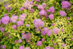 Sundrop™ Spiraea (Spiraea 'Bailcarol') at Oakland Nurseries Inc