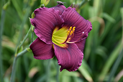 Barbary Corsair Daylily (Hemerocallis 'Barbary Corsair') at Oakland Nurseries Inc