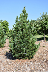 Chalet Swiss Stone Pine (Pinus cembra 'Chalet') at Oakland Nurseries Inc