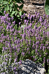 Oregano Thyme (Thymus vulgaris 'Oregano') at Oakland Nurseries Inc