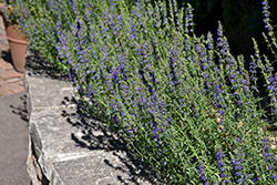 Dwarf Blue Hyssop (Hyssopus officinalis 'Nana') at Oakland Nurseries Inc