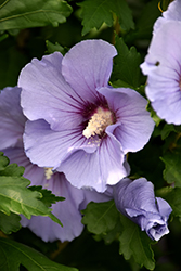 Blue Satin® Rose of Sharon (Hibiscus syriacus 'Marina') at Oakland Nurseries Inc