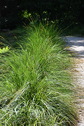 Autumn Moor Grass (Sesleria autumnalis) at Oakland Nurseries Inc