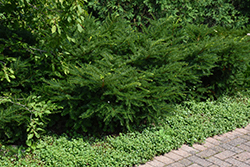 Green Wave Yew (Taxus x media 'Green Wave') at Oakland Nurseries Inc