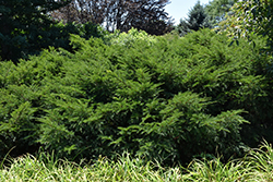Runyan Yew (Taxus x media 'Runyan') at Oakland Nurseries Inc