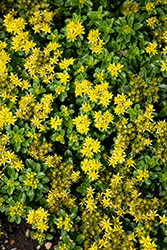 Little Miss Sunshine Stonecrop (Sedum 'Little Miss Sunshine') at Oakland Nurseries Inc