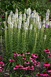 Floristan White Blazing Star (Liatris spicata 'Floristan White') at Oakland Nurseries Inc