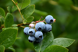 Northcountry Blueberry (Vaccinium 'Northcountry') at Oakland Nurseries Inc