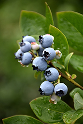 Northblue Blueberry (Vaccinium 'Northblue') at Oakland Nurseries Inc