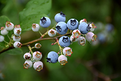 Highbush Blueberry (Vaccinium corymbosum) at Oakland Nurseries Inc