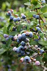 Blue Jay Blueberry (Vaccinium corymbosum 'Blue Jay') at Oakland Nurseries Inc