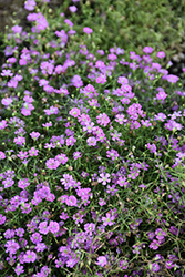 Pink Creeping Baby's Breath (Gypsophila repens 'Rosea') at Oakland Nurseries Inc