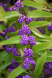 Issai Beautyberry (Callicarpa dichotoma 'Issai') at Oakland Nurseries Inc