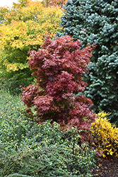 Twombly's Red Sentinel Japanese Maple (Acer palmatum 'Twombly's Red Sentinel') at Oakland Nurseries Inc