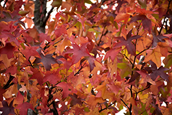 Sweet Gum (Liquidambar styraciflua) at Oakland Nurseries Inc