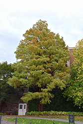 Baldcypress (Taxodium distichum) at Oakland Nurseries Inc