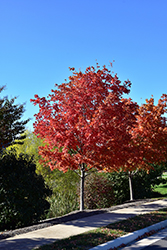 Crescendo Sugar Maple (Acer saccharum 'Morton Crescendo') at Oakland Nurseries Inc