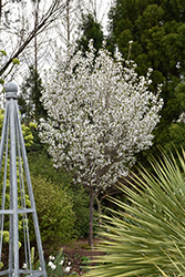 Snow Goose Flowering Cherry (Prunus 'Snow Goose') at Oakland Nurseries Inc