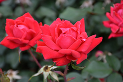 Double Knock Out® Rose (Rosa 'Radtko') at Oakland Nurseries Inc