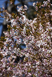 Little Twist® Fuji Cherry (Prunus incisa 'CarltonLT') at Oakland Nurseries Inc