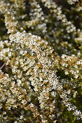 Ogon Spirea (Spiraea thunbergii 'Ogon') at Oakland Nurseries Inc