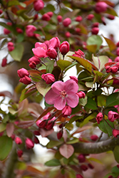 Cardinal Flowering Crab (Malus 'Cardinal') at Oakland Nurseries Inc