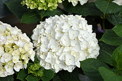 Blushing Bride® Hydrangea (Hydrangea macrophylla 'Blushing Bride') at Oakland Nurseries Inc