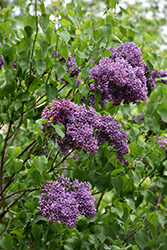 Albert F. Holden Lilac (Syringa vulgaris 'Albert F. Holden') at Oakland Nurseries Inc