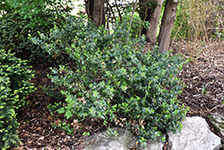 Blue Prince Meserve Holly (Ilex x meserveae 'Blue Prince') at Oakland Nurseries Inc