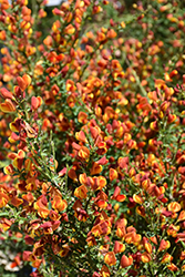 Lena Scotch Broom (Cytisus 'Lena') at Oakland Nurseries Inc