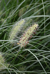 Little Bunny Dwarf Fountain Grass (Pennisetum alopecuroides 'Little Bunny') at Oakland Nurseries Inc