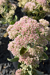 Autumn Charm Stonecrop (Sedum 'Autumn Charm') at Oakland Nurseries Inc