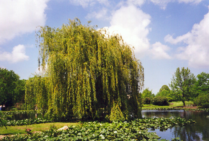 Golden Weeping Willow Salix Alba Tristis In Columbus