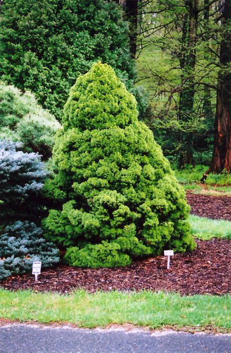 Dwarf Alberta Spruce Picea Glauca Conica In Columbus