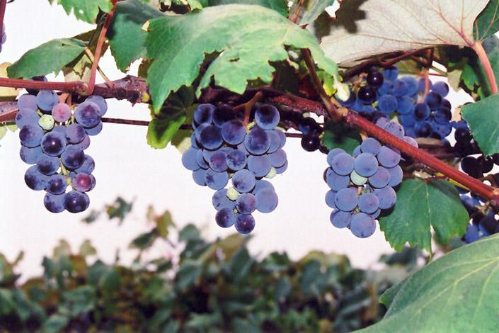 Concord Grape Vitis Concord In Columbus Dublin Delaware Grove
