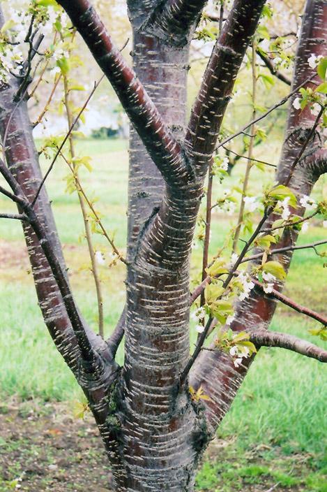 Sweet Cherry Prunus Avium In Columbus Dublin Delaware