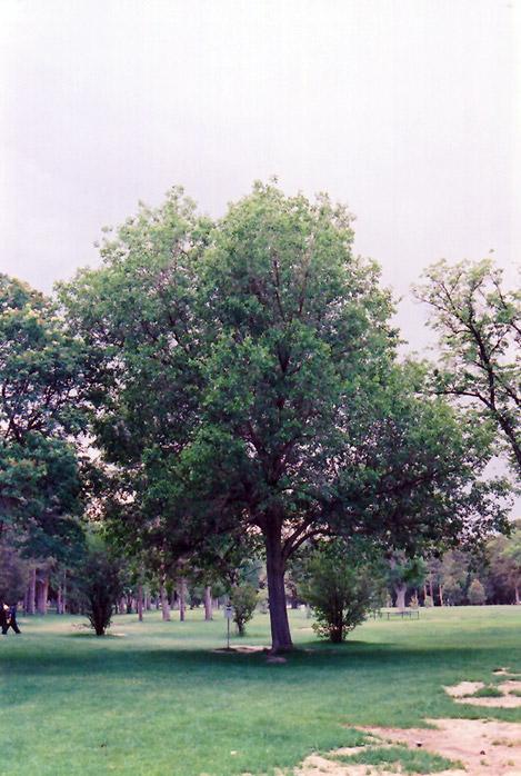 Common Mulberry Morus Alba In Columbus Dublin Delaware