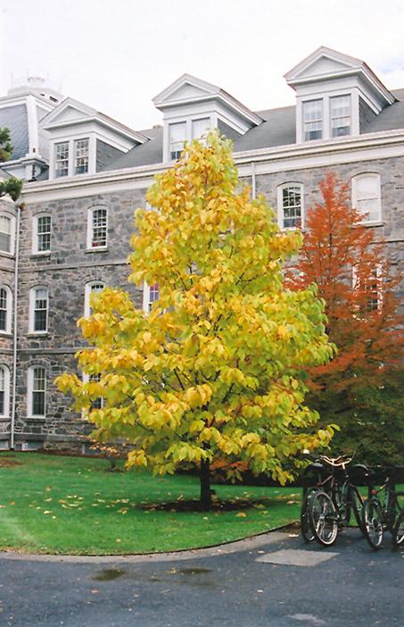 Cucumber Magnolia Magnolia Acuminata In Columbus Dublin Delaware