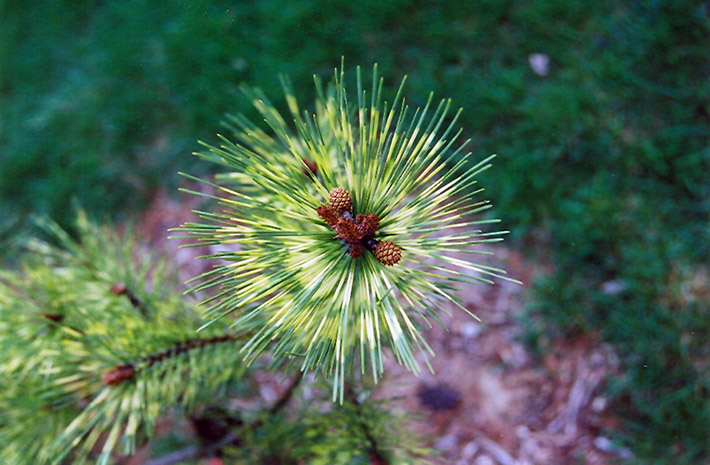 Dragon 39 s Eye Japanese Red Pine