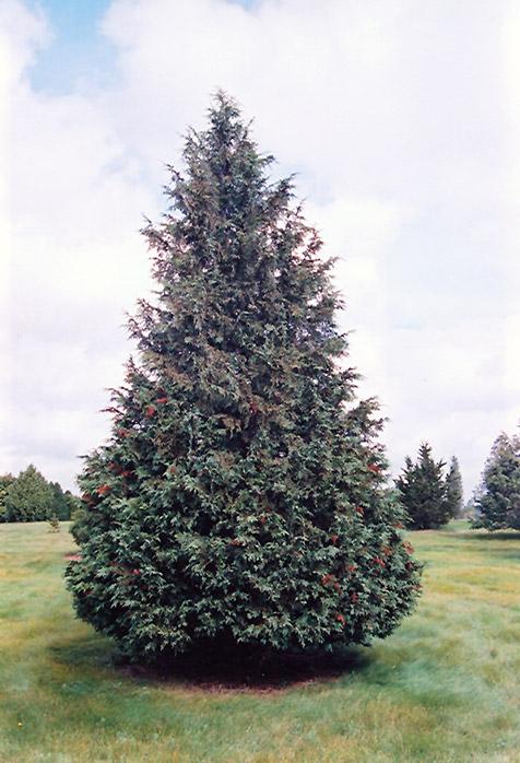 Blue Nootka Cypress Chamaecyparis Nootkatensis Glauca