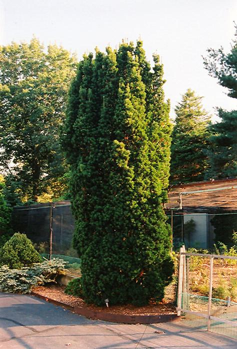 Sentinal Yew Taxus X Media Sentinalis In Columbus