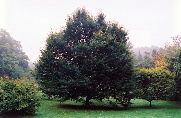 European Hornbeam Carpinus Betulus In Columbus Dublin