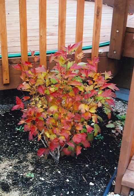 Compact Highbush Cranberry Viburnum Trilobum Compactum
