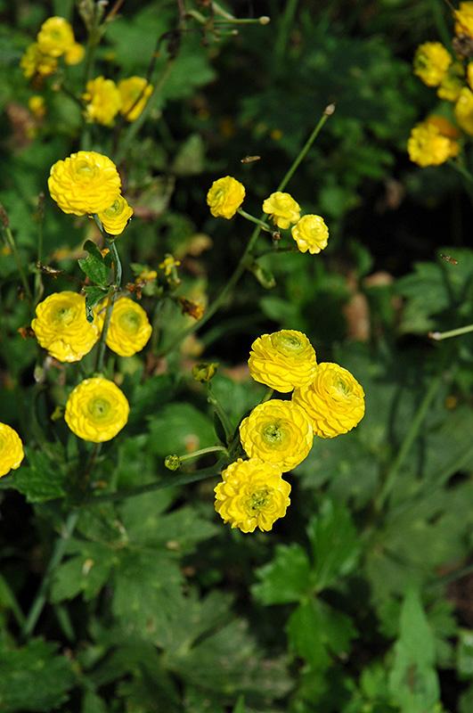 Yellow Bachelor S Button Ranunculus Acris Flore Plena