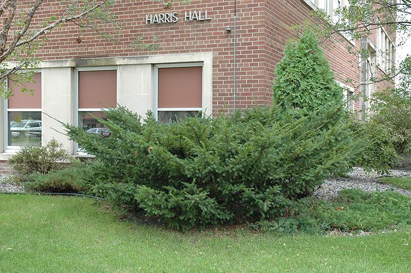 Japanese Yew Taxus Cuspidata In Columbus Dublin Delaware