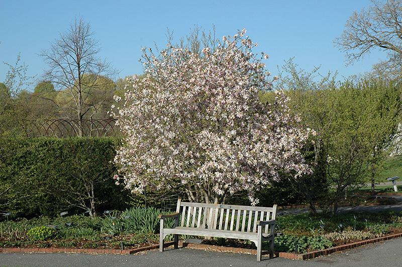 Leonard Messel Magnolia Magnolia X Loebneri Leonard Messel In
