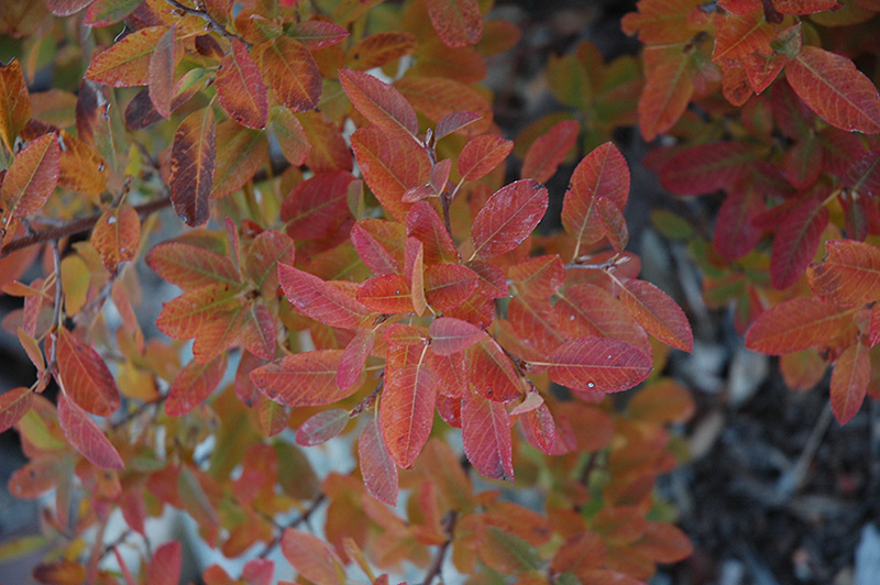 Rainbow Pillar Serviceberry (Amelanchier canadensis 'Glennform') at Oakland Nurseries Inc