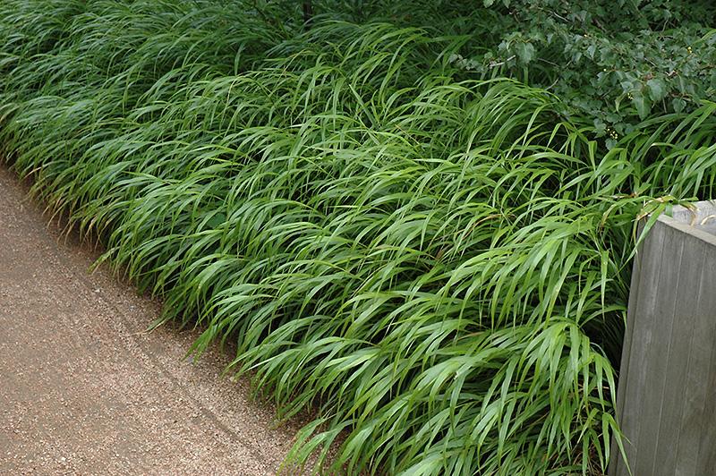 Japanese Woodland Grass Hakonechloa Macra In Columbus