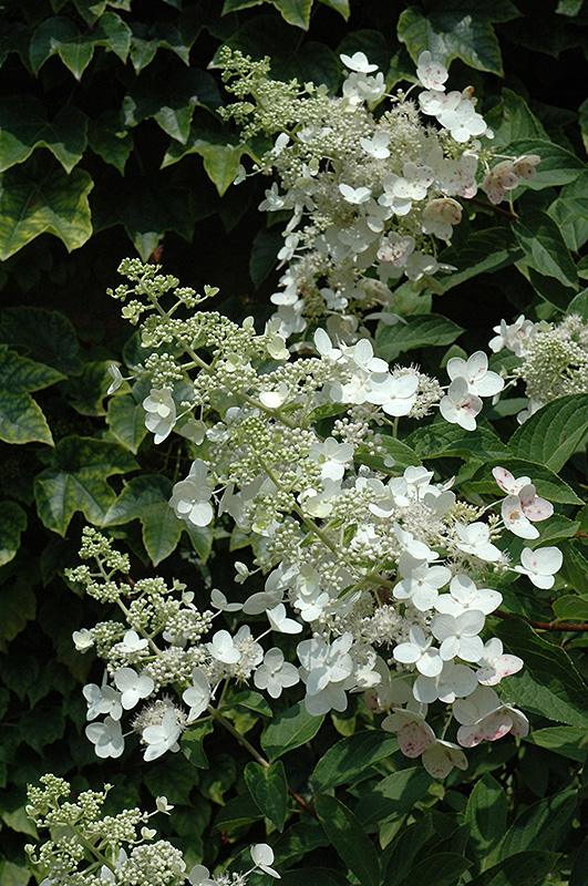unique hydrangea  hydrangea paniculata  u0026 39 unique u0026 39   in