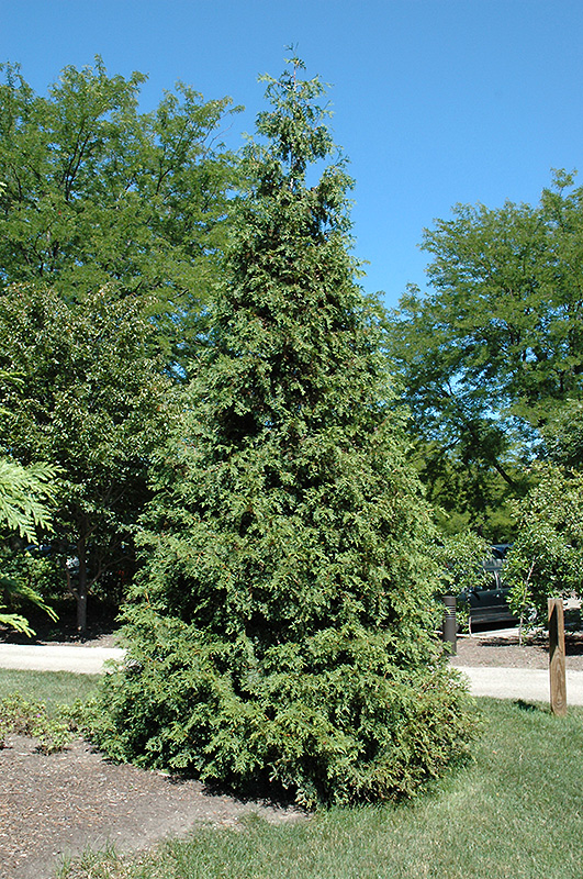 Atrovirens Arborvitae Thuja Plicata Atrovirens In